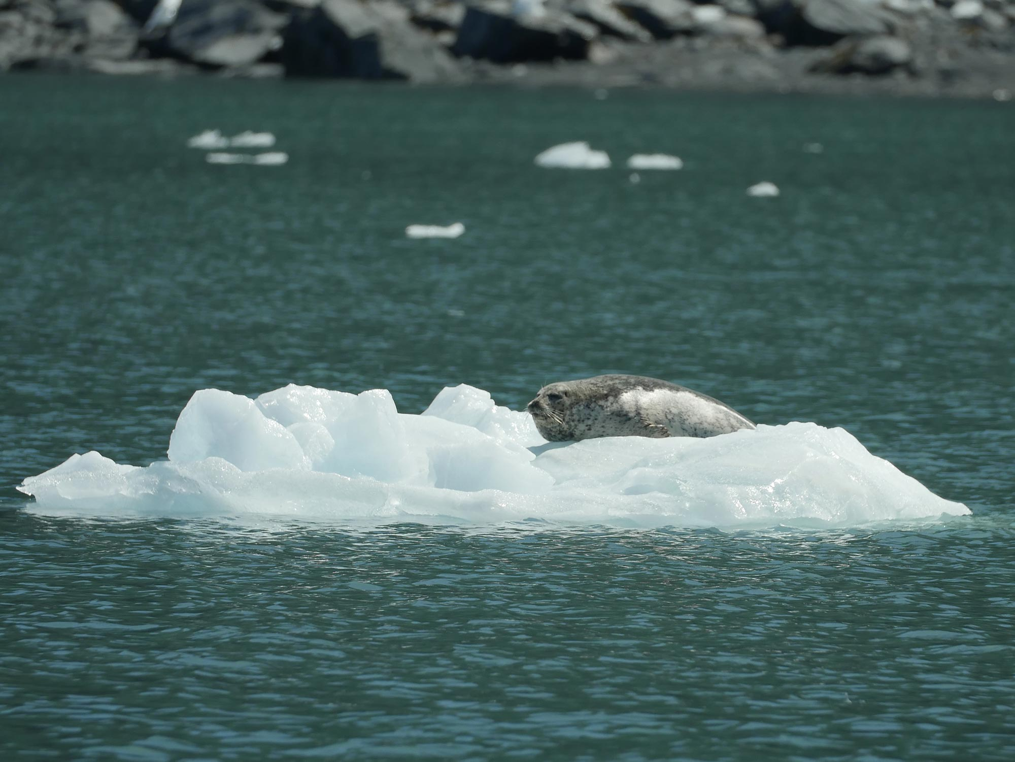 Seal on Glacier Ice