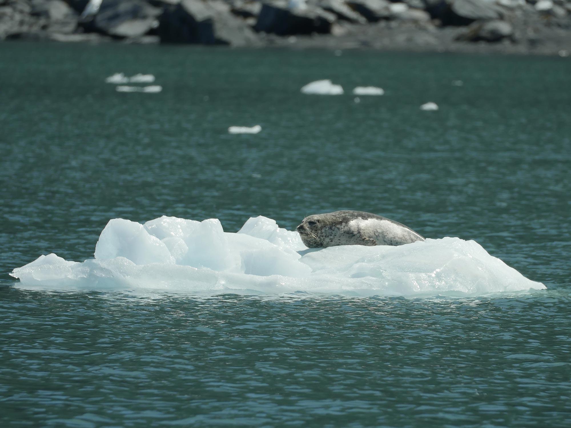 Seal on Glacier Ice