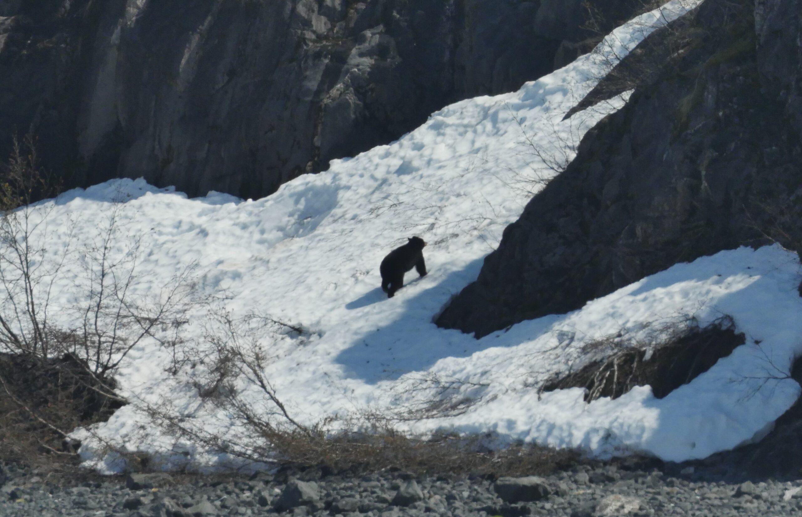 Alaska Bear by River