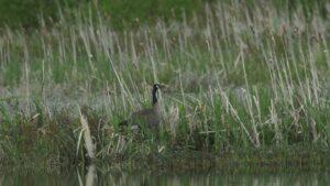 Canada goose wildlife
