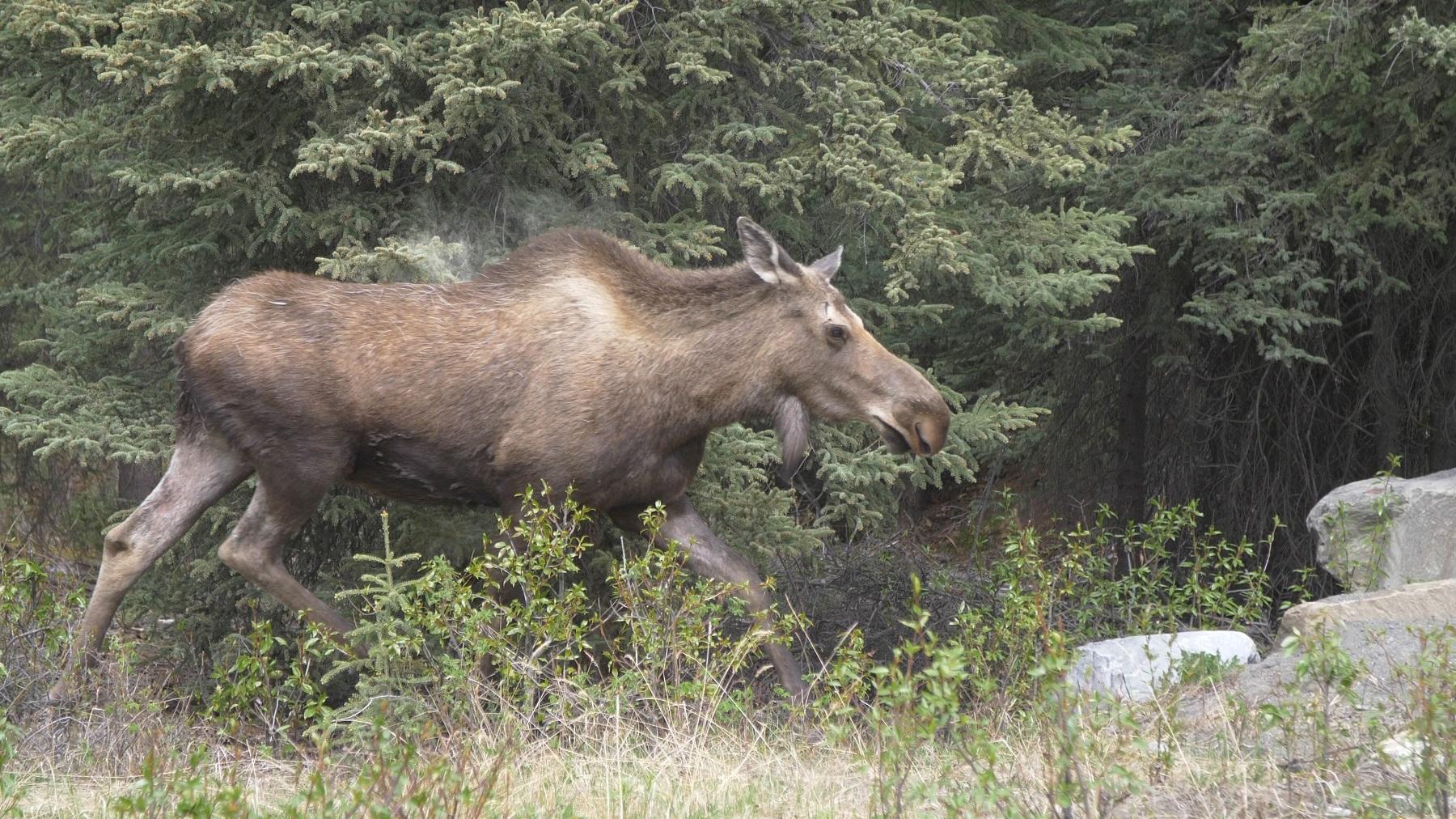 moose walking through trees and grass