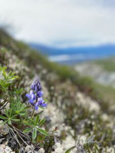 blue flower on mountain