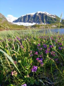 Alaskan wildflowers near glacier