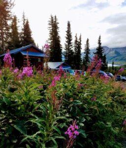 Alaskan wildflower fireweed