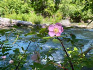 Alaska wildflower next to river