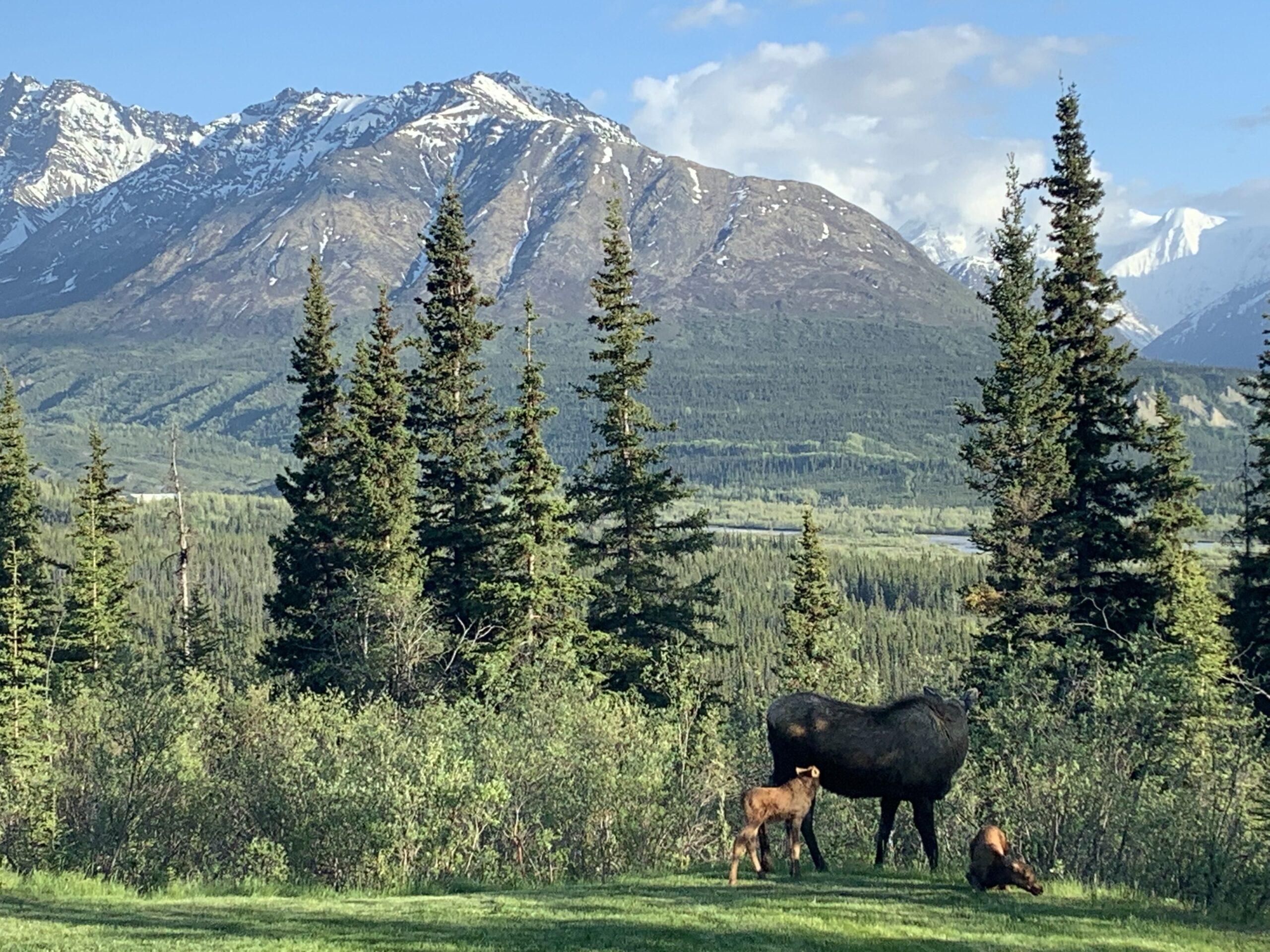Alaska Wildlife in the mountains