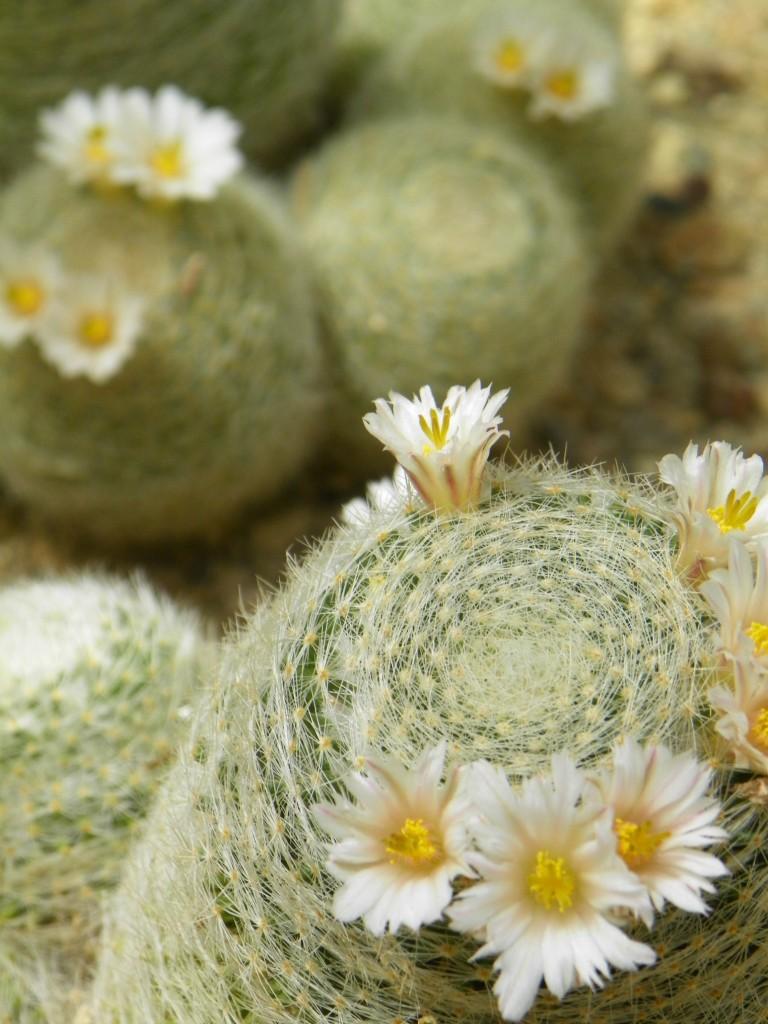 BTA Cactus