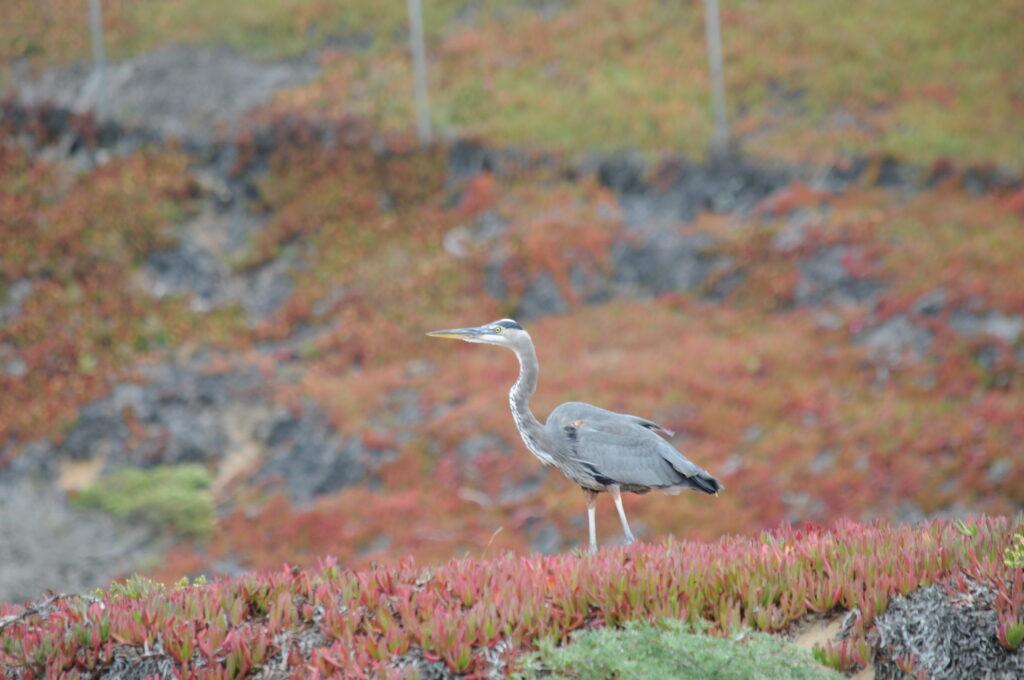heron in field