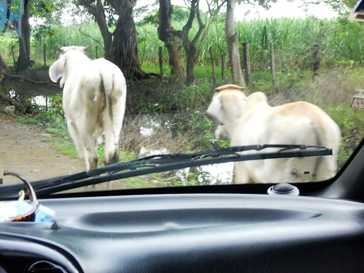 cattle, costa rica, driving, road, wildlife