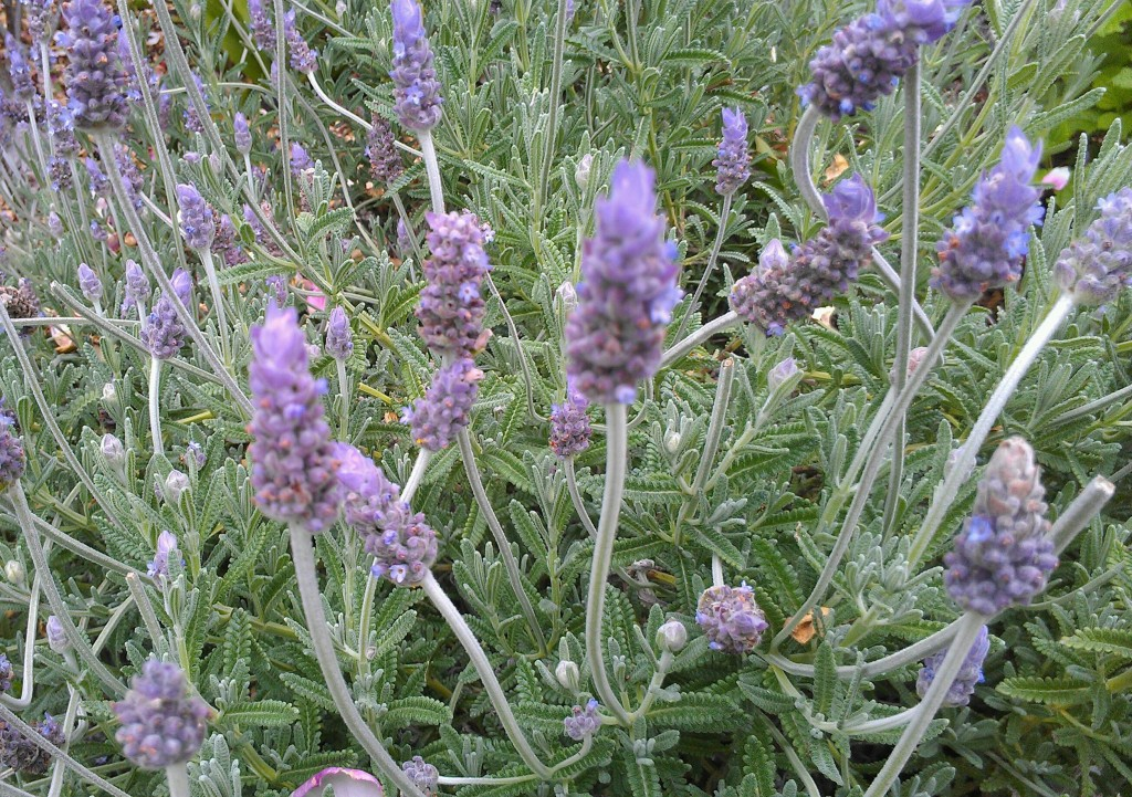 Lavender essential oil, which is steam distilled from lavender buds, is a great addition to natural body scrubs because it is especially soothing and healing for the skin.