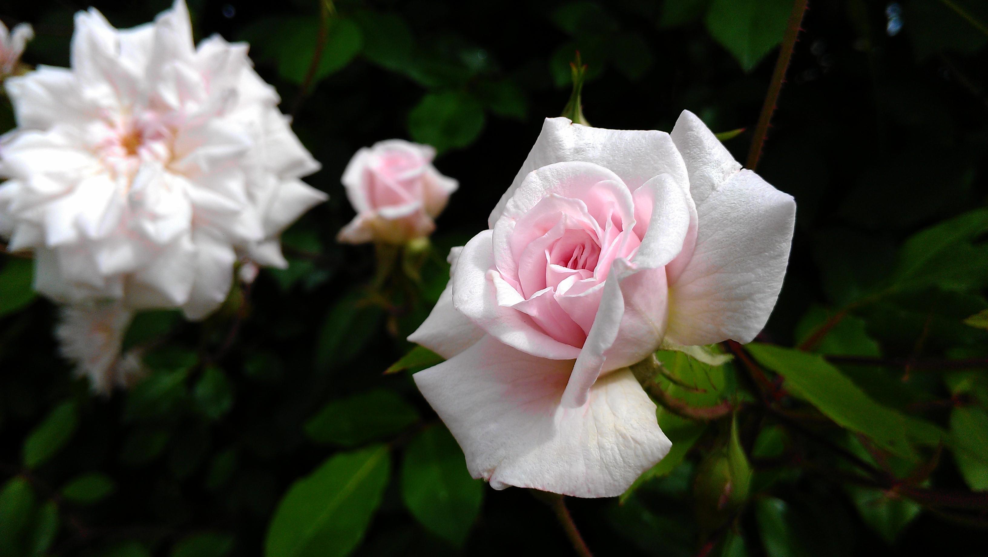 A Decadent Rose Milk Bath for Valentine's Day!