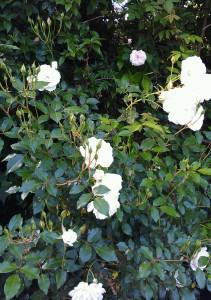 White Iceberg Rose Bush