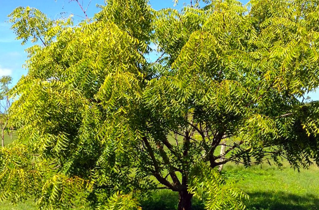 The Neem Tree: A Miracle Plant