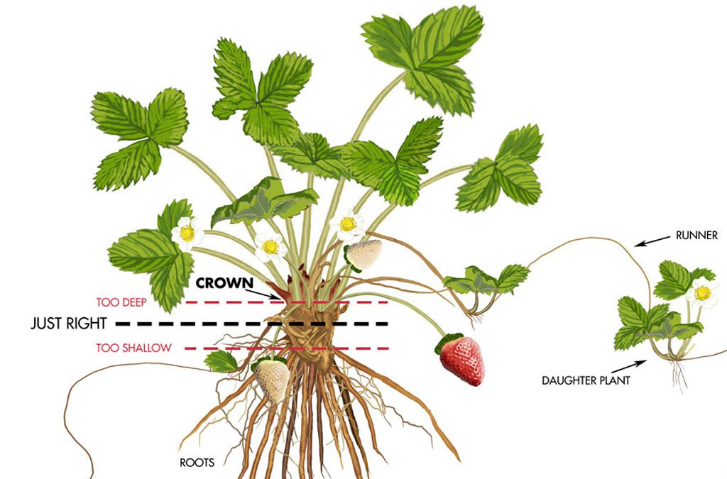 Caring For Your Strawberry Plants on Arrival