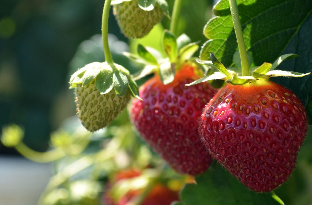 The Strawberry Plant