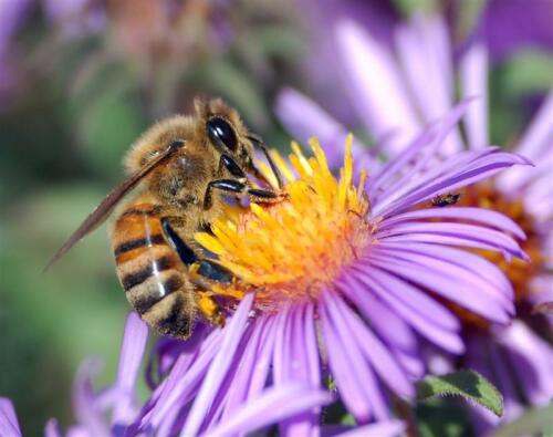 european-honey-bee-extracts-nectar