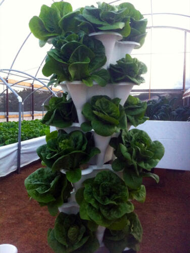 Patio-Garden-lettuce