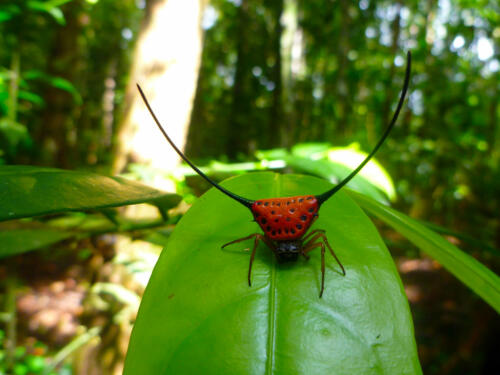Spiny-Orb-Weaver-Spider-3