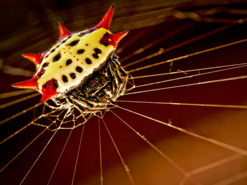 Spiny-Orb-Weaver-Spider