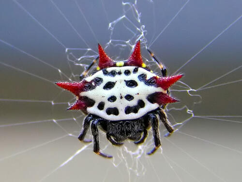 Spiny-Orb-Weaver-Spider 3