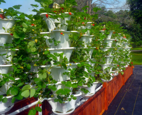Roof Top Strawberry Towers