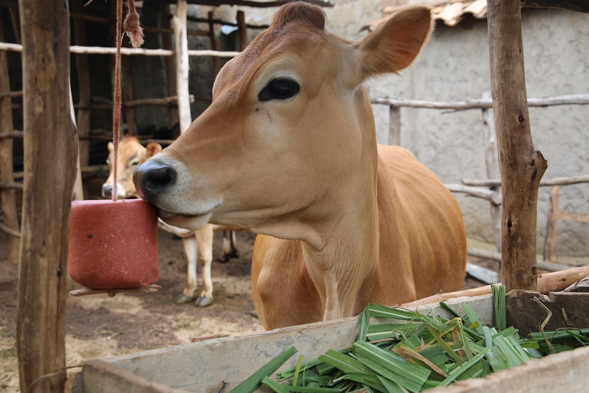 Rwanda: The newly introduced jersey cows to improve dairy breed cattle