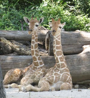 Baby giraffes named Willie & Waylon are the cutest giraffes of all