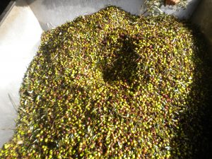 Raw Olives in Hopper
