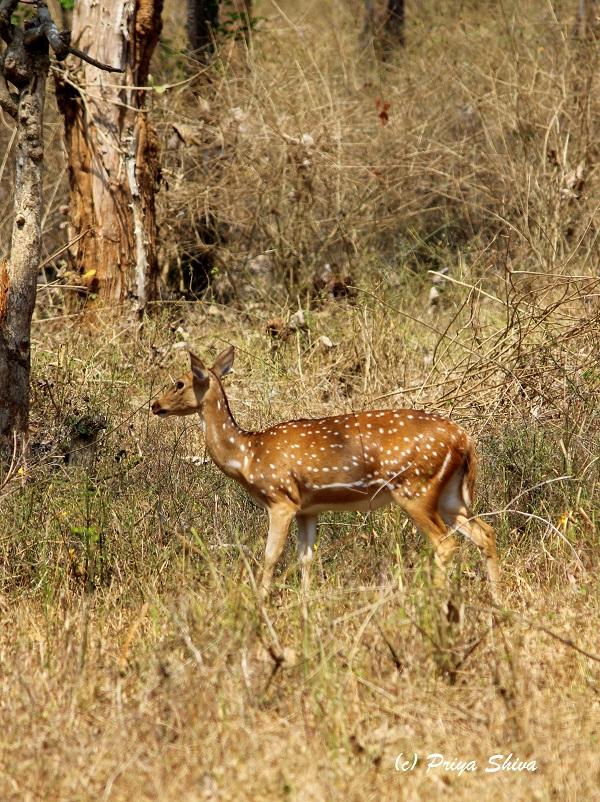 deer in mudumalai trip