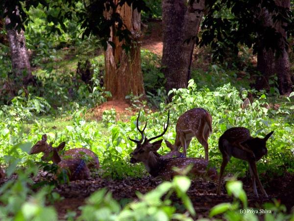 Deer in Nagarhole