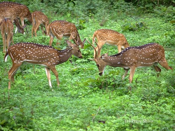 herd of deer - Nagarhole National Park