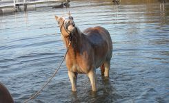 How to Help A Horse With An Abscess