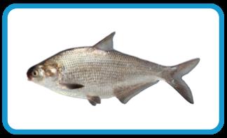 stlcatfishing - gizzard shad