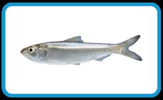 stlcatfishing skip jack herring