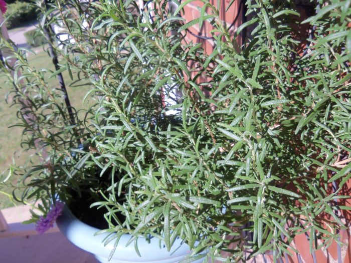 Growing Your Own Herbs - why, what herbs to grow, and how to dry herbs