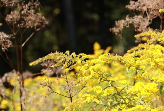 Homestead Blog Hop Feature - Foraging-Using-Goldenrod