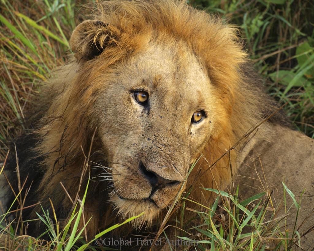 Lion Resting in Kruger National Park
