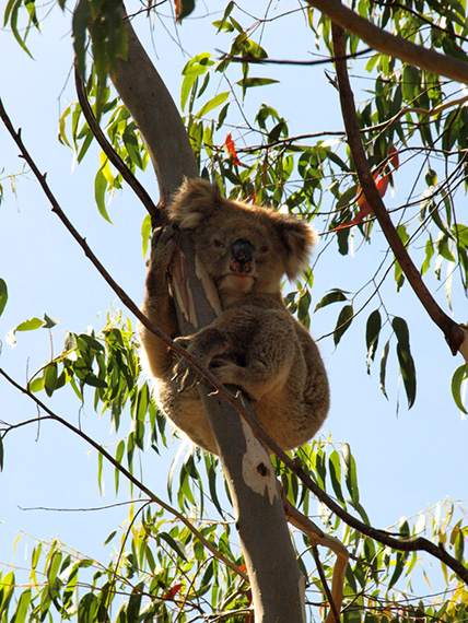 Australian koala holding on to a branch of eucalyptus tree