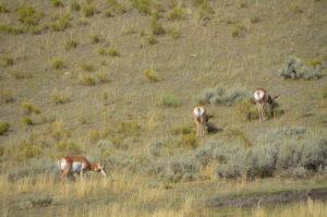 YellowstoneAnimal_012
