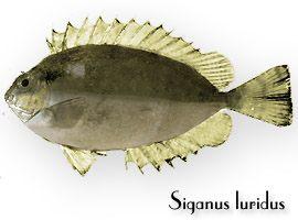 Pesci alieni e pericolosi in Mediterraneo - Siganus Luridus