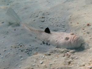 Pesci pericolosi nel Mediterraneo-Pesce prete-Uranoscopus scaber