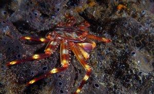 Specie pericolose in Mediterraneo-Granchio Corridore-Percnon gibbesi