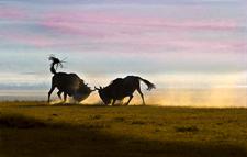 Wildebbest fighting, rutting, Ngorongoro Conservation Area, Tanz
