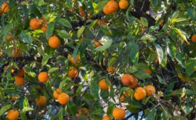 citrus canker resistance 2Blades