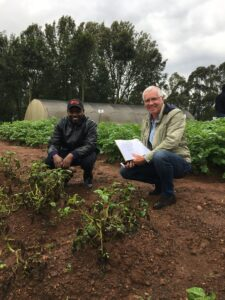 Potatoes Affected by Late Blight, with Resistant Cisgenic Victoria Variety in Background