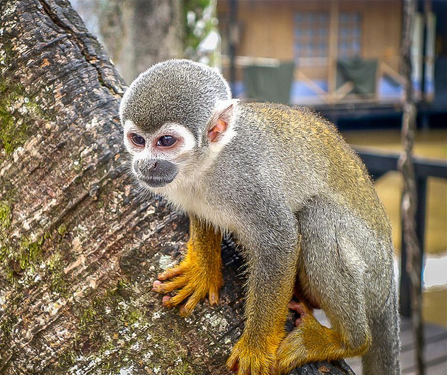 Leticia Amazonas monkey island