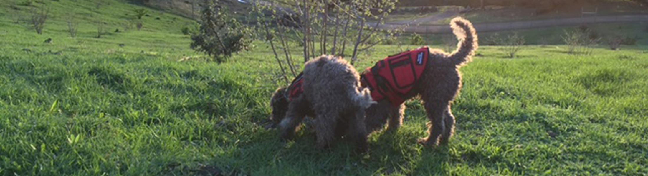 Truffle Dog Trainning