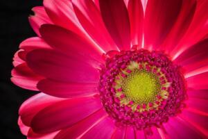Color A 3rd Place – Gerbera Painted By Light Ansa Du Toit