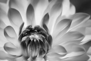 Monochrome 1st Place – Blooming Armand Gelinas