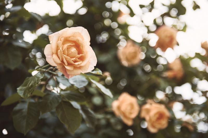 Roses Piemonte